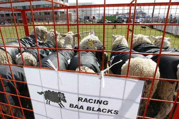 40 Mio Schafe